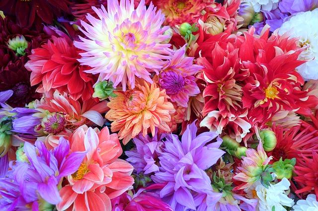 květy jiřin