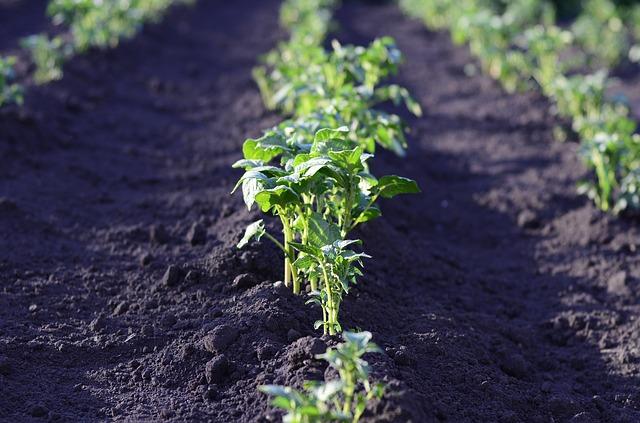 Pěstování brambor v zahradě